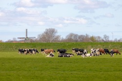 A group of black and white Dutch cows on the green meadow with blurred traditional Dutch windmills as background, Open farm with dairy cattle on the field in countryside farm, Netherlands.