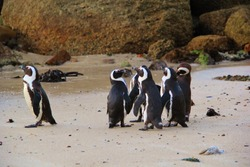 A group of black and white penguins on the beach having an evening meeting with one penguin standing alone. Penguin singled out apart from the others and looking to the ocean. Wildlife in South Africa