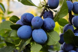 A group of blue ripe large plums on a branch in a plum orchard. Ripe blue plums on a branch. Zavidovići, Bosnia and Herzegovina.