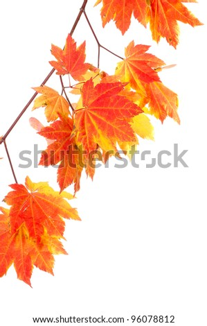 A group of bright colorful maple leaves isolated on white