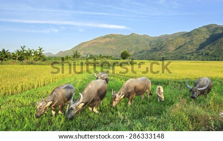 A group of buffalo is now grazing freely and easily in the rice field in Vietnam, a country with a very long-term agricultural development