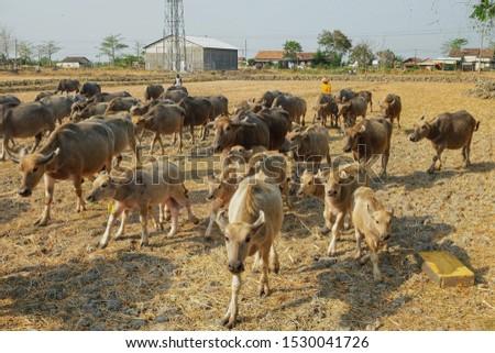 A group of buffalo ran foraging #1530041726