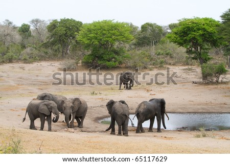 A group of bull elephants drinking at a waterhole - stock photo