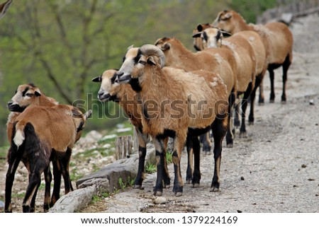 a group of Cameroon sheep in a row #1379224169