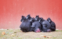 A group of Celebes crested macaques (Macaca nigra) huddles together against a bright red background.