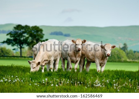 A group of charolais cattle grazing on rich pasture in Scotland.