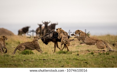 A group of cheetahs attacking a wildebeest  #1074610016