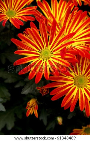 A group of chrysanthemums close-up.