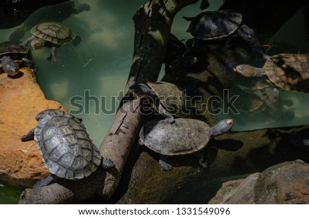 A group of cooter taking sunbath on trees and close to the water, pic taken with hightlights and shadows tons.