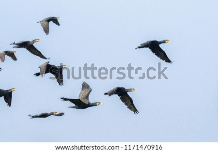 A group of cormorants flying away from the lake rajbagh inside ranthambore national park during wildlife safari #1171470916