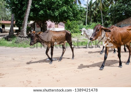 A group of cows crossing an unpaved street #1389421478