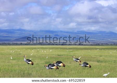 A group of crowned cranes feeding on the savanna plains of Amboseli National Park, Kenya