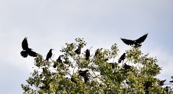 A group of crows roosting and flying around a tree