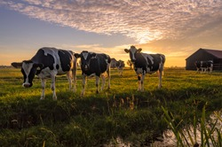 A group of curious cows in summer evening light. A typical Dutch rural scene.