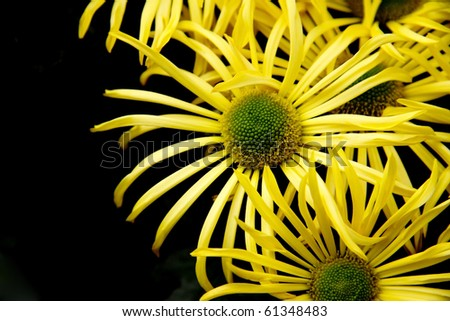 A group of daisies (Aster amellus) on a black background.