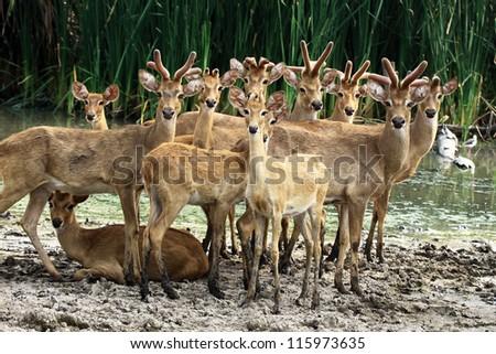 A group of deer looking camera