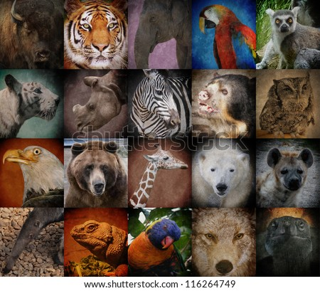 A group of different wild animal faces in a square background. The creatures range from a tiger, elephant, giraffe, buffalo to birds, lizards and polar bears. Use it for a conservation or zoo concept.