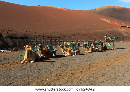 A group of domesticated camels waiting for passengers in the daytime heat of the desert in Timanfaya national park on Lanzarote