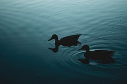 A group of ducks swims along the coast at night in thickets of reeds. Dark silhouettes of ducks on the water