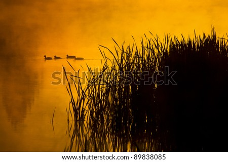 A group of ducks swims through a glassy pond during a foggy sunrise in Montana