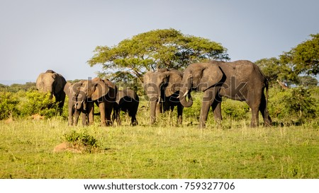 A group of elephants enjoying the sunset warmth in Murchison Falls national park in Uganda nearby lake Albert. Unbelievable that oil drilling will take place nearby to destroy the nature. #759327706