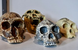A group of fake skulls used to teach students about anatomy, anthropology, and other fields.
