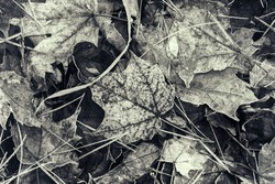 A group of fallen frozen fall leaves on the ground in the morning.  A lightly toned black and white image.