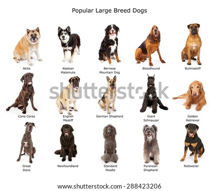 A group of fifteen common large breed dogs together