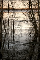 A group of five Canadian geese, seen among silhouetted trees, float on the still waters of the Ottawa River in early morning light.