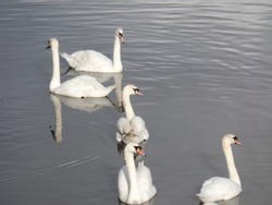 A group of five white swans in the river