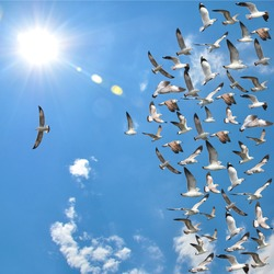 a group of flying seagull birds with one individual bird going in the opposite direction with blue sky background.