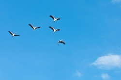a group of flying yellow billed storks in the sky - tanzania national park selous game reserve
