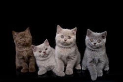 A group of four British kittens at the age of 2 months of blue, purple, chocolate colors on a black background