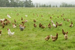 A group of free range chickens feed in a field in Northern California