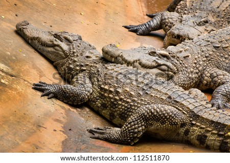 A group of fresh water crocodiles