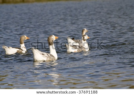 a group of geese swiming in the lake