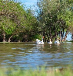 A group of geese walking through the forest by the river. White goose leader male spring summer outdoor recreation. Pets birds