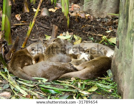 A group of giant otters take a mid afternoon nap