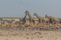 A group of giraffes drinking from a waterhole surrounded by springboks and zebras in Ozonjuitji m'Bari, Etosha National Park, Namibia.