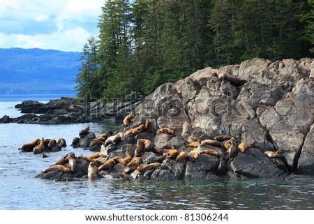 A group of golden brown sea lions sunning themselves on rocks by the water in Alaska, USA