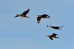 A group of Great cormorant in flight
