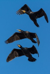 A group of great cormorant (Phalacrocorax carbo)