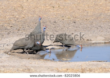 A group of helmeted guinea fowl drinking