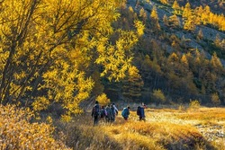 A group of hikers are walking along the valley among the mountains. Autumn season in the far north. Northern nature. Yellow foliage on the trees. People with backpacks go hiking. Outdoor activities.