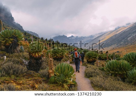 A group of hikers in giant groundsels forest against a mountain background, Mount Kenya, Mount Kenya National Park, Kenya