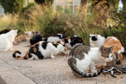 A group of hungry multicoloured homeless stray cats sitting on the sidewalk and given cat food  by volunteers in downtown Dubrovnik. Surrounded by greenery on a sunny day