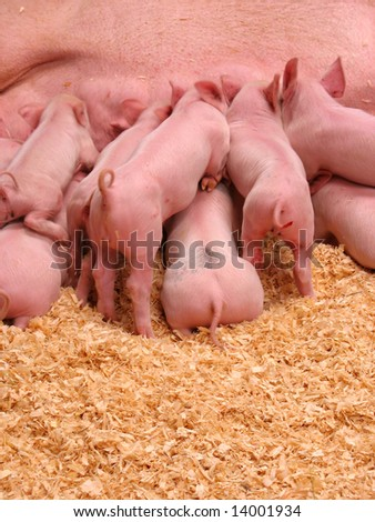 A group of hungry piglets fighting to get their fair share of milk