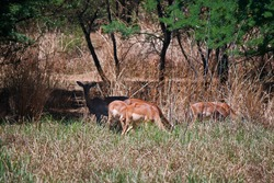 A GROUP OF IMPALA BUCK IN SUNLIGHT PARTIALLY OBSCURED BY LONG GRASS