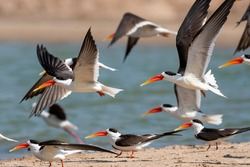 A group of Indian skimmers flying away on Chambal river while on a boat safari on the river