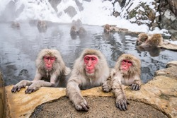 A group of Japanese macaques taking a bath in a hot spring